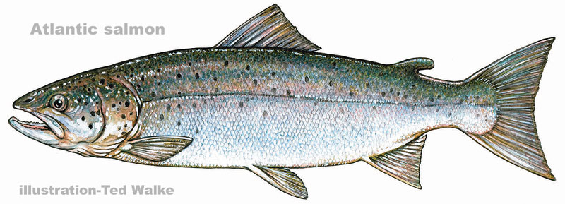 Atlantic salmon illustration by Ted Walke