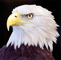 Bald Eagle Courtesy of Arizona Game & Fish