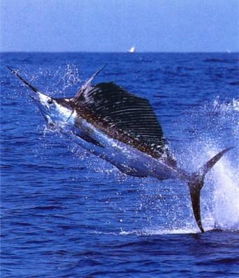 Swordfish Courtesy of Duke University