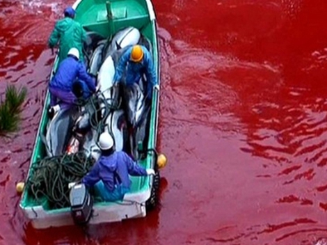 Taiji Cove dolphin slaughter is underway. Photo courtesy of Save the Dolphins