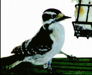 Diwny woodpecker photographed during 2014 Great Backyard Bird Count. Thanks to Denise Brautigan!
