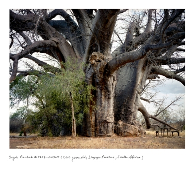 Sagole Baobab 2000 years old Limpopo Province South Africa Courtesy of Rachel Sussman