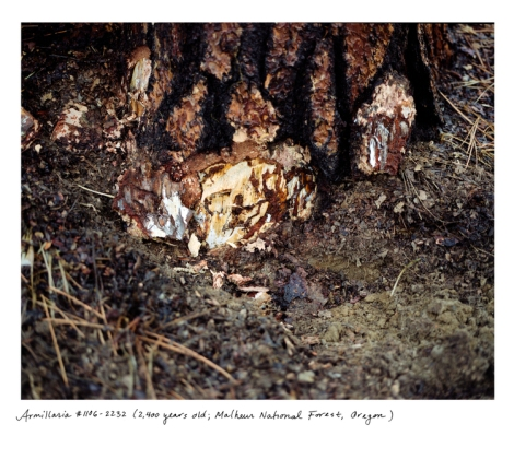 Armillaria ostoyae -- the honey mushroom and sometimes called the humongous mushroom--covers an area of 3 and one half square miles (2200 acres) in the Malheur National Forest, Oregon. Mostly underground, it is 2,400 years old.