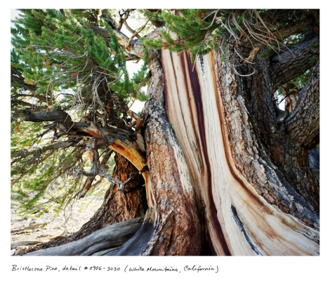 The Bristlecone Pine, White Mountains California, at 5,000+ years old, lives at the upper edge of the tree line (10,000 feet). It is older than the famed Methusaleh Tree, a superb bristlecone pine cut down by a field researcher in 1964.