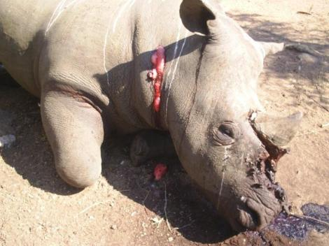 Rhino poaching. Courtesy of protrack