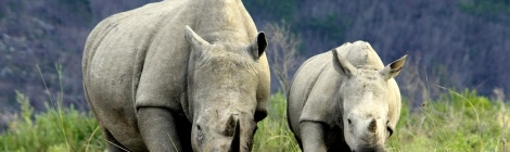 Soiuth African white rhino. Courtesy of gapafricaprojects.com