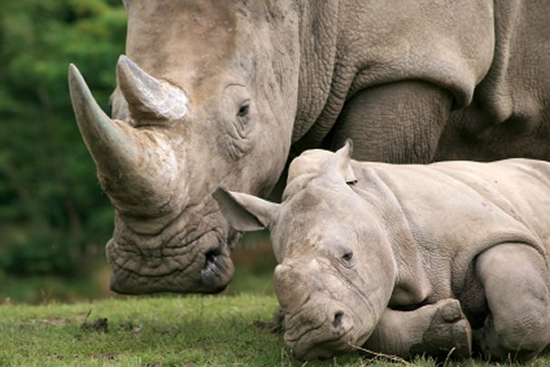 White rhino family - South Africa. Deeply endangered