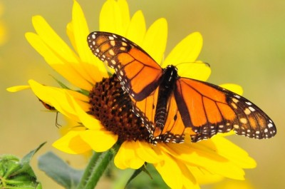 A monarch perches on a sunflower in Lacreek National Wildlife Refuge in South Dakota. Courtesy Tom KoernerUSFWS