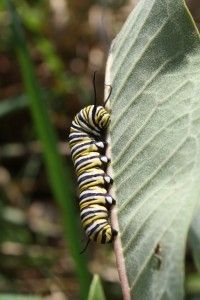 Monarch caterpillar Maddie List USFWS