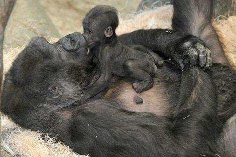 Newborn mountain gorilla. Courtesy of zmra on wikipedia
