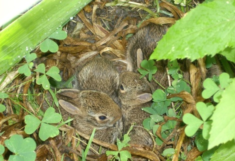 Bunnies and shamrocks in my front garden (last year!).