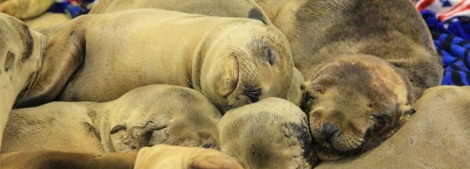 Sea Lion Pups Courtesy of the Pacific Marine Mammal Center