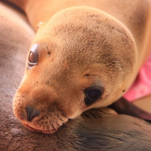 Grayson -- a rescued sea lion pup -- at the Pacific Marine Mammal Center. Photo courtesy of PMMC.