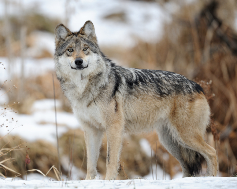 """Mexican wolf (Courtesy of Conbio.org) In cases of """"mistaken identity,"""" these highly endangered animals have been killed."""