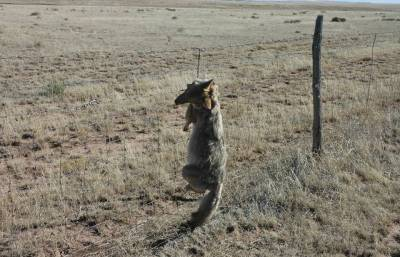 A coyote hangs dead in a government neck snare in Nevada in a photo shot by a former trapper for USDA Wildlife Services. More than 115,000 coyotes have been snared, trapped or shot in Fiscal Years 2013 and '14.