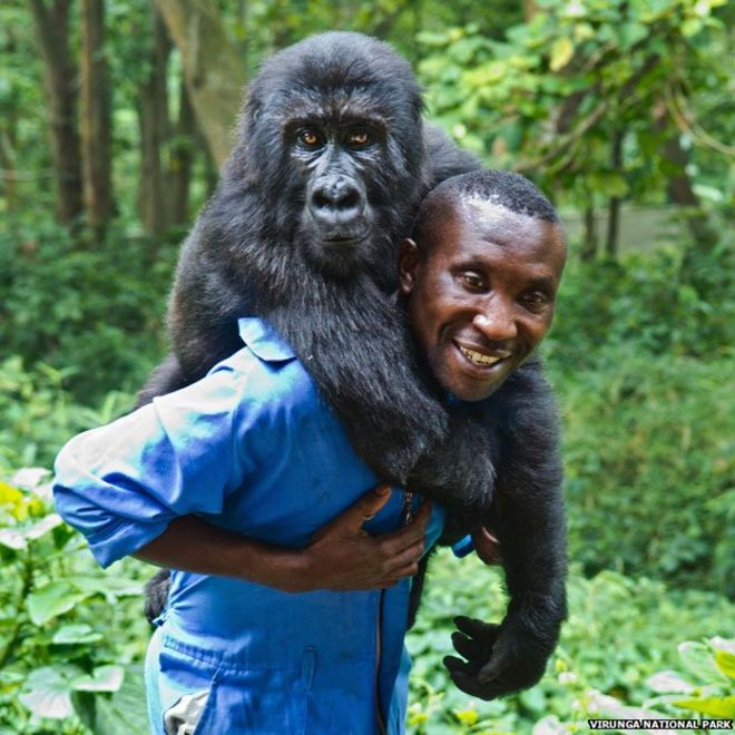 Andre Bauma carrying one of his four rescued mountain gorillas. Courtesy of Getty