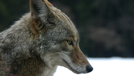 Coyote Courtesy of Wiki