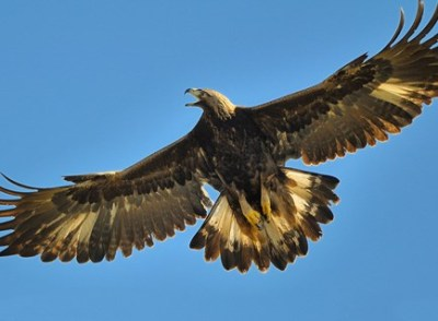 Golden Eagle (Courtesy of allaboutbirds.org) another example of mistaken killing