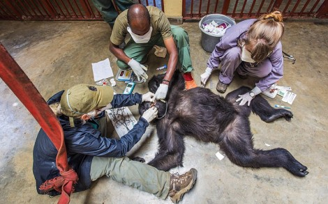 Doctor Jan Ramer, Dr Eddy Kambale and volunteer vet Dr Jessica Magenwirth treat a mountain gorilla called Ndakasi at the Senkwekwe Centre. Photo courtesy of Marcus Westberg/Barcroft Media