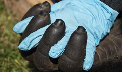 Hand to hand - human to mountain gorilla. Courtesy of Gorilla Doctors