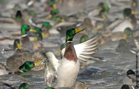 Mallards (Courtesy of Ducks Unlimited)