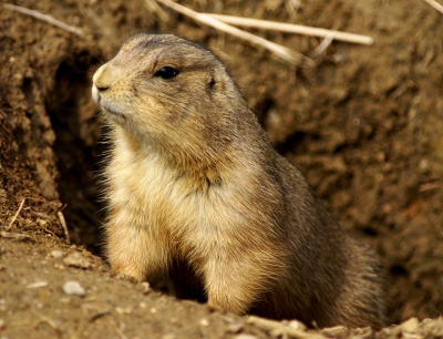 In FY 13, 12,186 black-tailed prairie dogs were killed, plus several hundred thousand nest sites. Photo courtesy of Wiki.