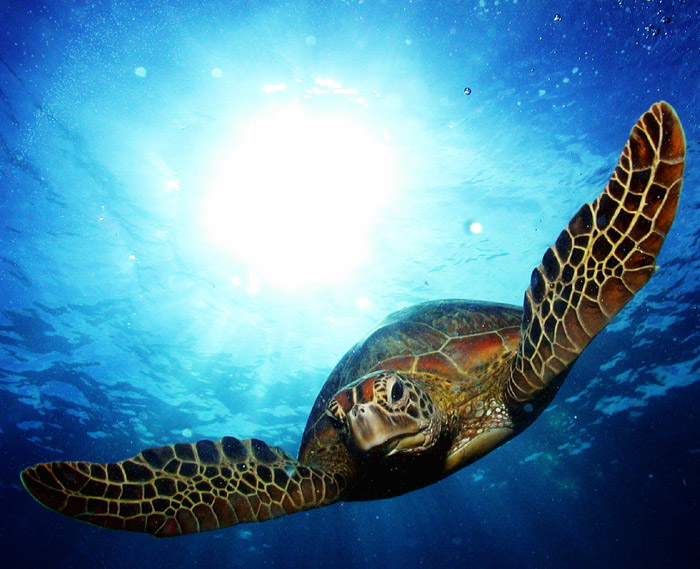 Oceangoing turtle at the Great Barrier Reef