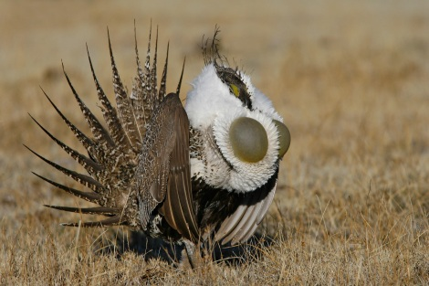 Greater Sage-Grouse Courtesy of Audubon.org