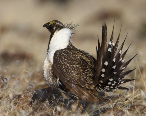 Greater sage grouse Courtesy of wiki