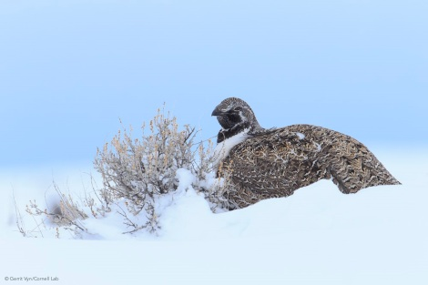 Greater Sage-Grouse Copyright Gerrit Vyn