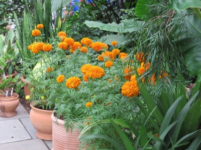 Pots of marigolds in the NYBG installation. Grown since the pre-Hispanic era, marigolds are an important aspect of the annual Dia de los Muertos celebrations, where they are scattered across graves in Mexico.