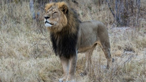 Cecil the lion in 2014. Vince O'Sullivan/Flickr (CC by NC 2.0)