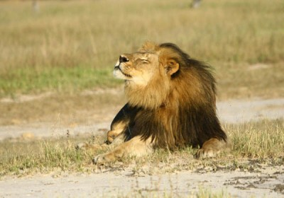The king of animals! Cecil the Lion from Oxford Wildlife Centre Research Unit.