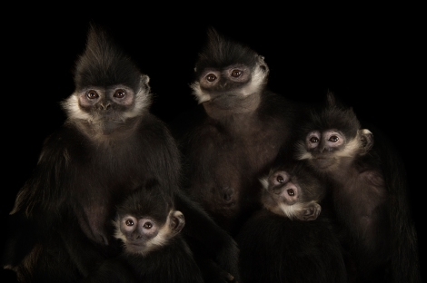 Langurs (Photo by Joel Sartore Rights Reserved Joel Sartore/National Geographic)