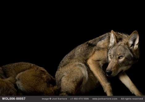 A critically endangered red wolf (Canis rufus gregoryi) at the Great Plains Zoo. (Image ID: WOL006-00057) Joel Sartore. All rights reserved