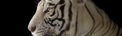 Rajah, a male white Bengal tiger (Panthera tigris tigris) at Alabama Gulf Coast Zoo. (Image ID: ANI019-00460). Joel Sartore. Photo rights reserved