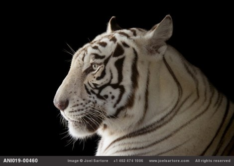 Rajah, a male white Bengal tiger (Panthera tigris tigris) at Alabama Gulf Coast Zoo. (Image ID: ANI019-00460). Joel Sartore. Photo rights reserved