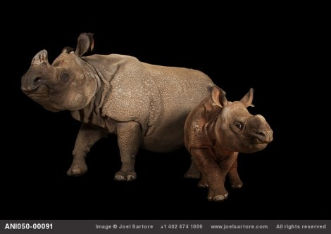 An endangered Indian rhinoceros female with calf (Rhinoceros unicornis) at the Fort Worth Zoo. (Image ID: ANI050-00091) Photo by Joel Sartore (rights reserved)