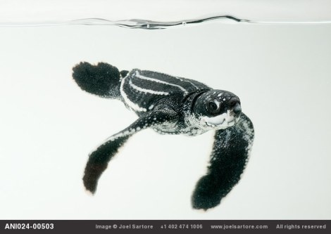 Studio portraits of a half-day-old hatchling leatherback turtle (Dermochelys coriacea) from the wild in Bioko. (Image ID: ANI024-00503) Joel Sartore. All rights reserved.