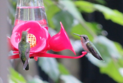 Hummingbirds, honeyeaters and sunbirds are tropical plant pollinators. A pair of hummers shown here in suburban Maryland. (Bobbie Faul-Zeitler CC 3.0)