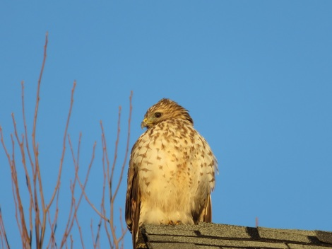 Red-tailed hawk on my rooftop keeps a lookout at my bird feeders (Bobbie Faul-Zeitler, CC 3.0)
