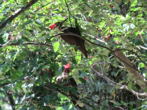 Pair of pileated woodpeckers feeding on berries at Cacapon State Park (West VA) in May 2015 (Bobbie Faul-Zeitler, CC 3.0)