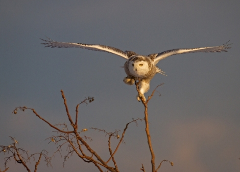 Snowy owl captured by photographer Francis Portman