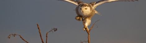 Snowy owl captured by photographer Francis Portman