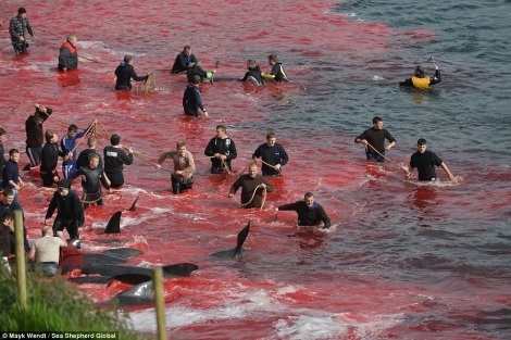 Men in wetsuits waded out to snare pilot whales and bring them ashore for killing. Sciene of the slaughter is the Faroe Islands, part of Denmark. Copyright Mark Wendt/Sea Shepherd Global.