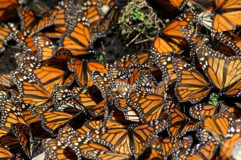 Each year monarch numbers are estimated by the total overwintering area they occupy in Mexico. Photo courtesy of Pablo Leautaud Creative Commons