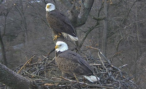 Eagles on the nest Photo by Sue Greeley