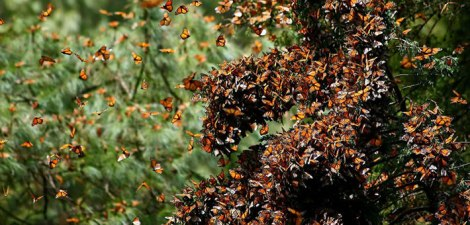 Overwintering Monarch colony in mexico Photo courtesy of Pablo Leautaud Creative Commons