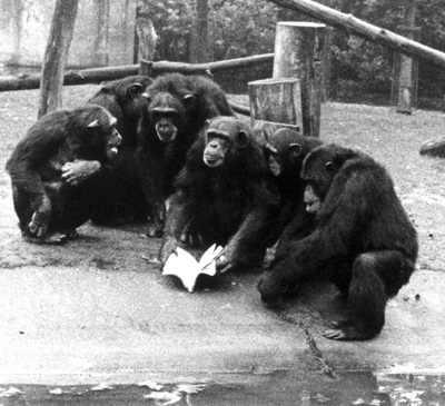 De Waal threw a copy of his first book across the moat to the waiting chimps. Courtesy of Frans de Waal