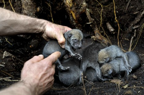 Prof Vadim Siderovich finds fresh wolf litter in an uncontaminated control study area